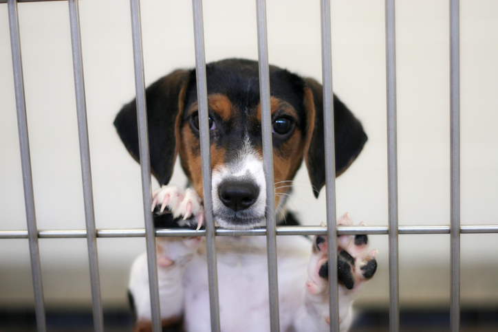 A dog is in a kennel in an animal shelter.