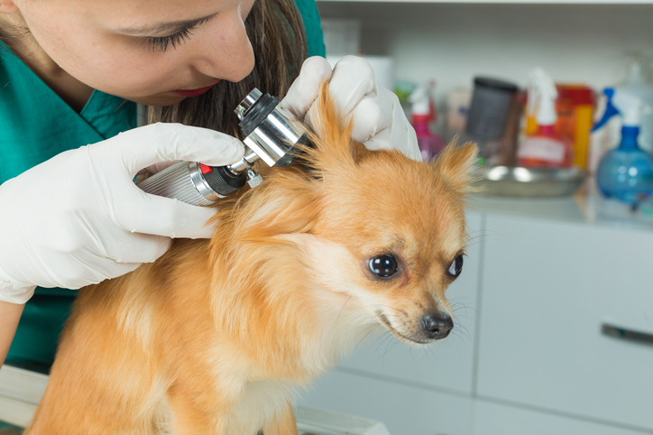 small dog gets ears checked at the vet