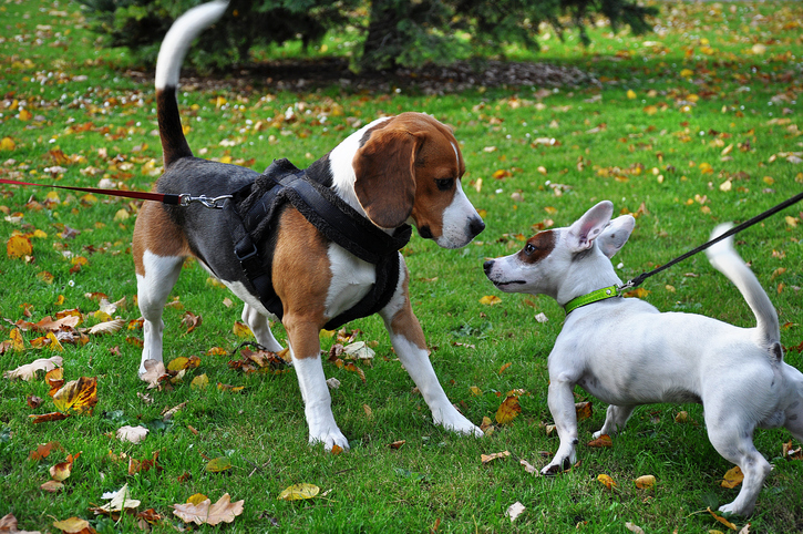 two dogs meet on leash