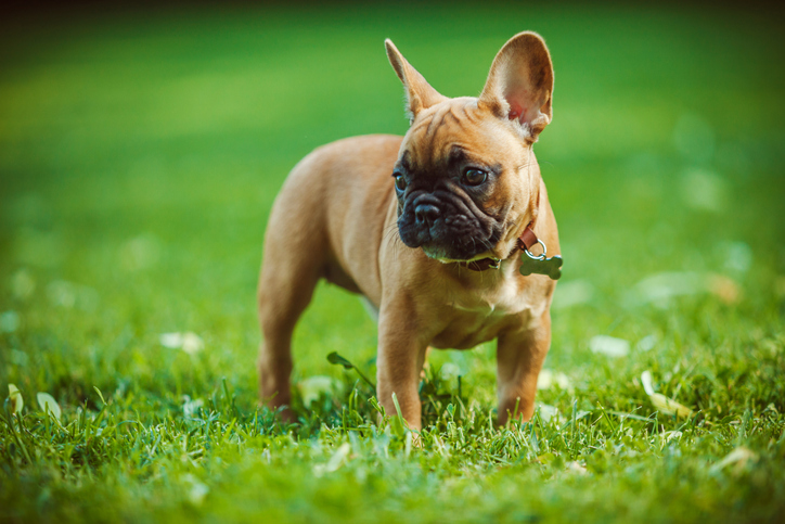 French bulldog outside on grass