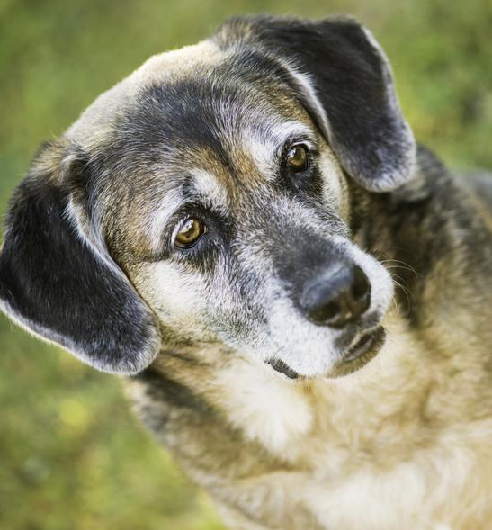 mixed breed senior dog