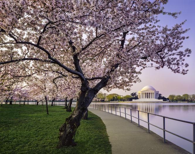 cherry trees along the Tidal Basin and Thomas Jefferson Memorial in springtime Washington, D.C.