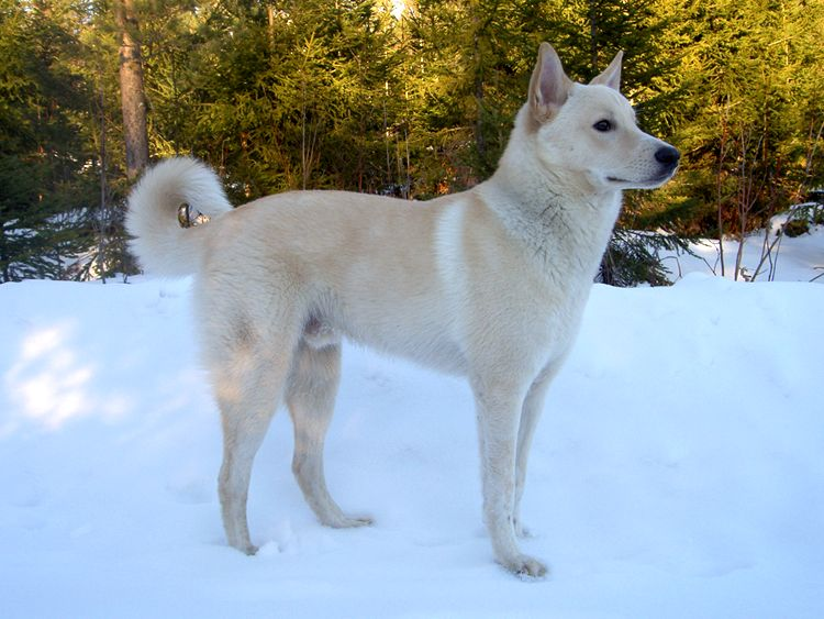 Canaan dog outside in snow