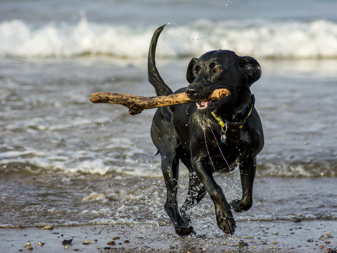 Black Labrador retriever fetching a stick from water