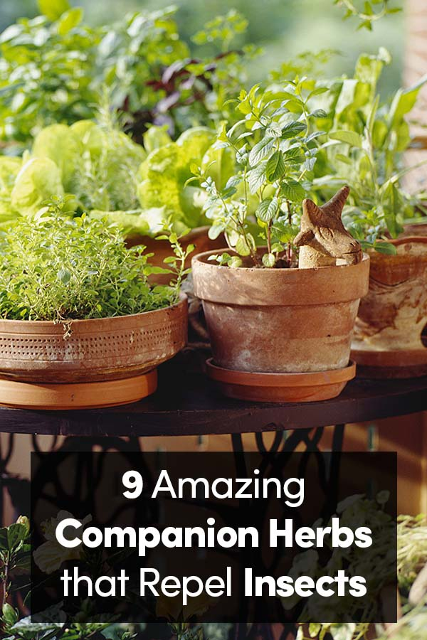9 Companion Herbs to Repel Insects