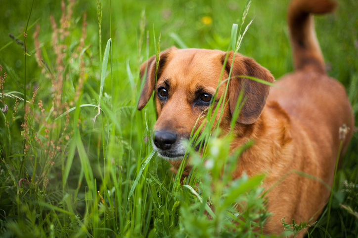 Mixed-breed dog in tall grass