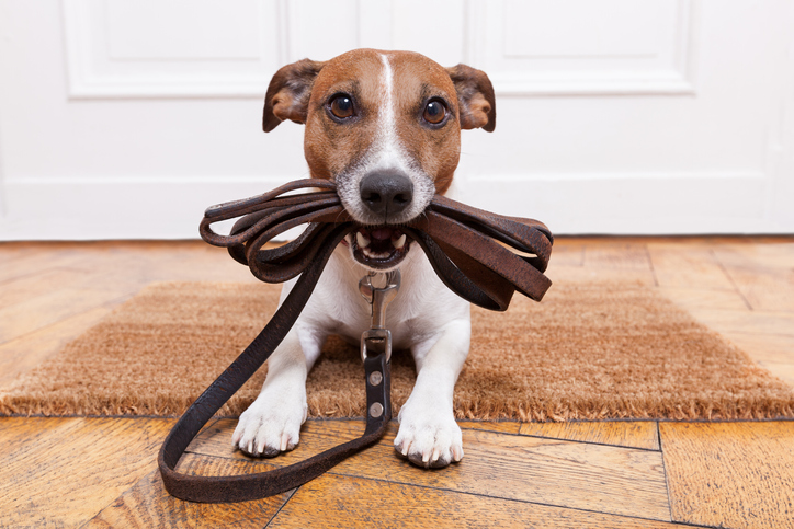dog holding a leash in their mouth