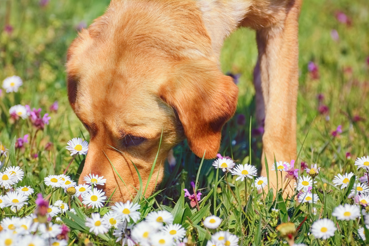 dog smelling flowers in a field