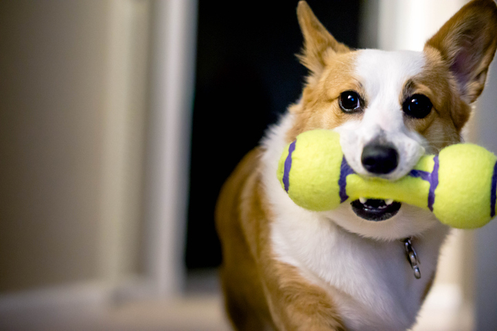 dog holding a toy in their mouth