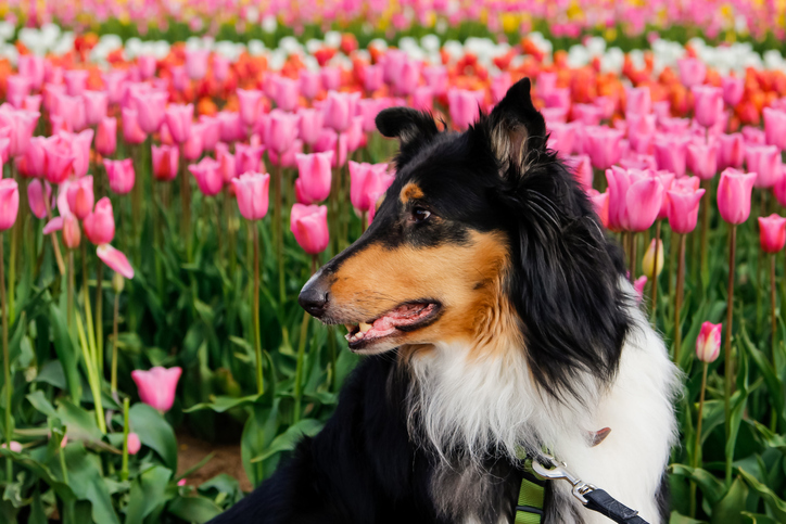 dog standing in front of tulip field