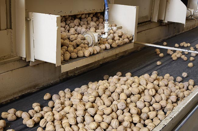 Bleached Walnuts Ready for Processing