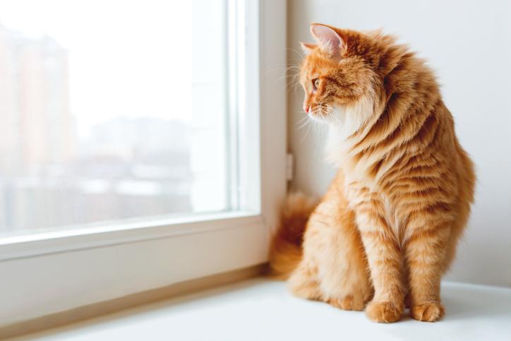 orange tabby cat looking out a window