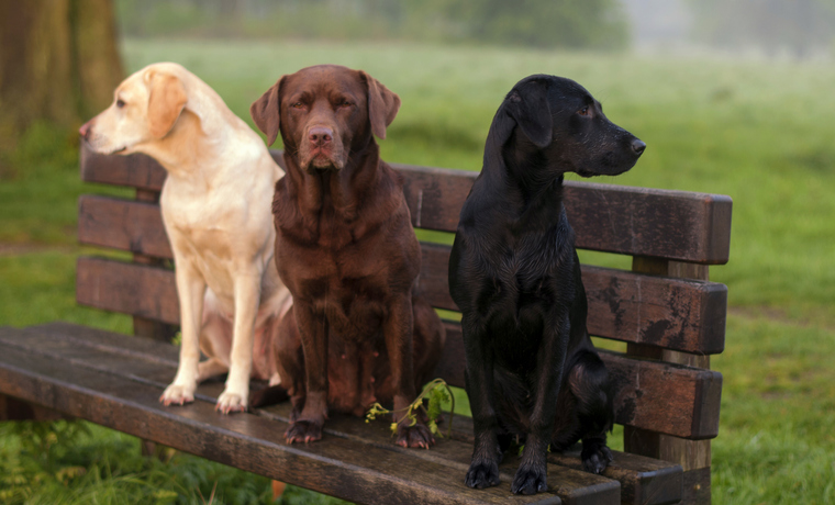 yellow, chocolate and black Labradors sitting on a bench