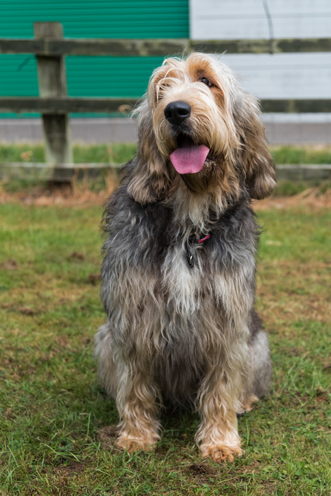 Large otterhound sitting down in front of a wooden fence with mouth open and tongue sticking out