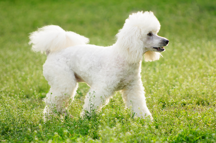 White poodle dog on green grass