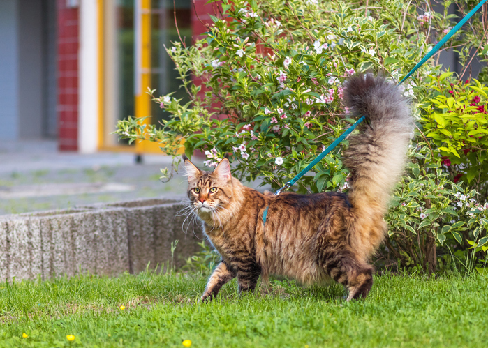 cat walking in grass on a leash and harness