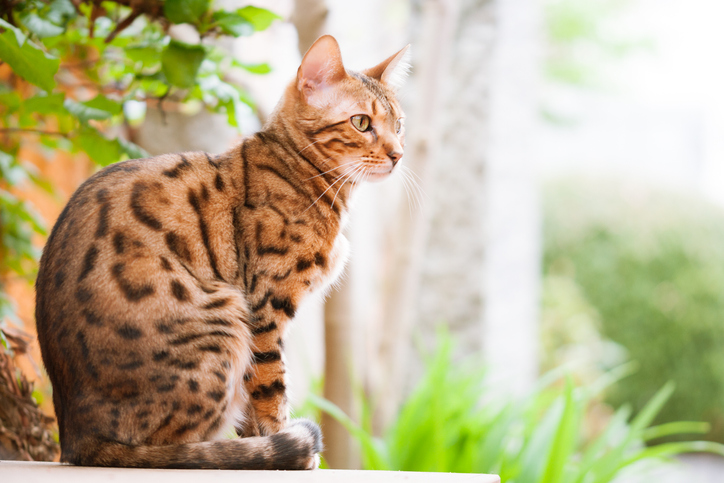 bengal cat looking out window