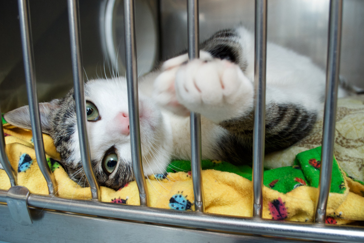 A grey and white kitten reaches a paw out of its cage at the animal shelter.