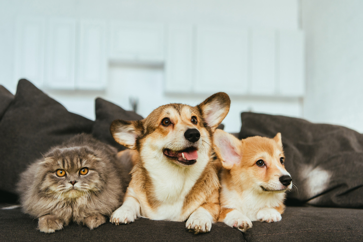 a cat sitting on a couch with two corgis