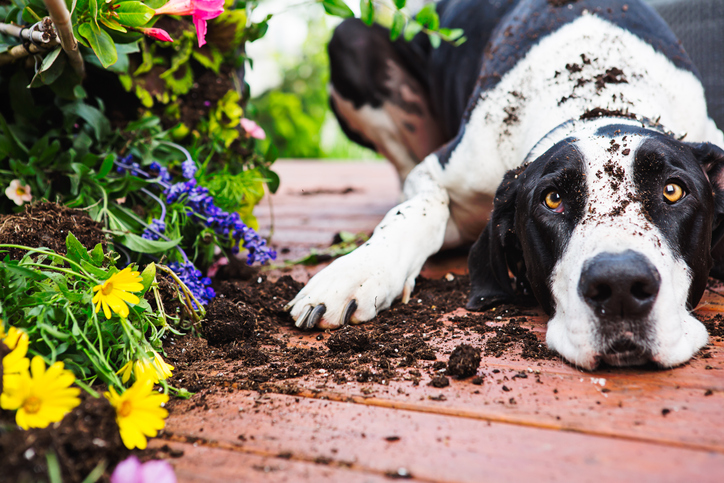 Great Dane lying next to flowers from a knocked-over planter