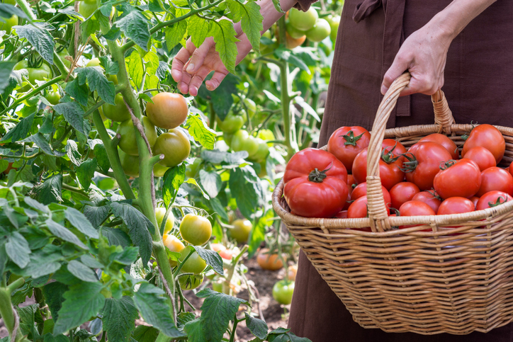 A person is picking tomatoes in a greenhouse and putting them into a basket.