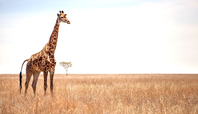 Giraffe on African landscape with one tree in the background