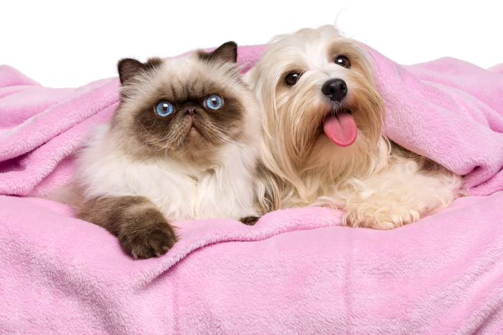 Persian cat and Havanese dog lying on a bed