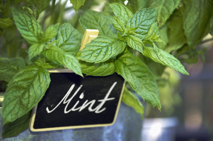 mint plant in a container