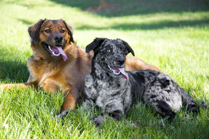 two rescue mixed breed dogs lying in grass
