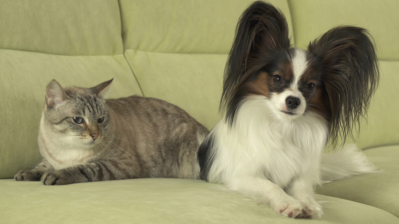Papillon and cat sitting on a couch