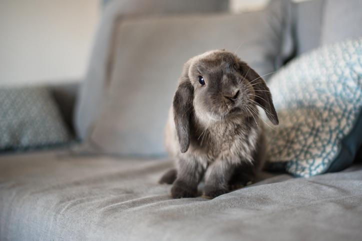rabbit sitting on a sofa