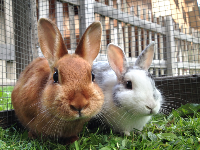 two pet rabbits in an outdoor enclosure