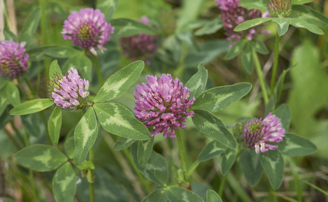 Red clover leaves and flowers are edible.