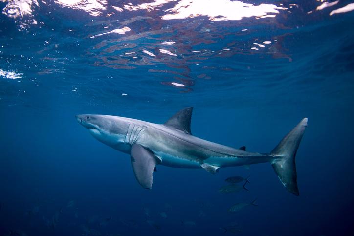Great white shark in Australia