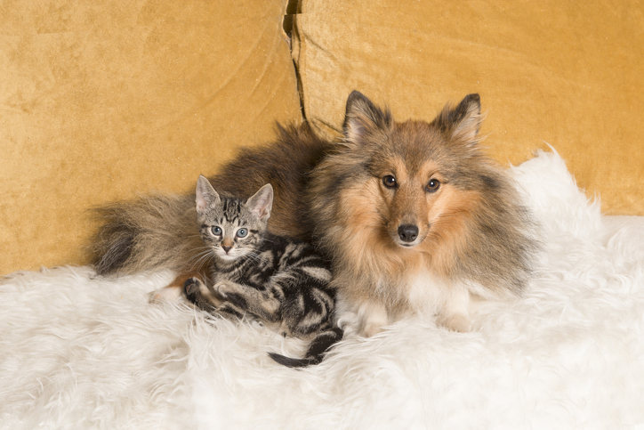 Shetland sheepdog and cat curled up on a couch