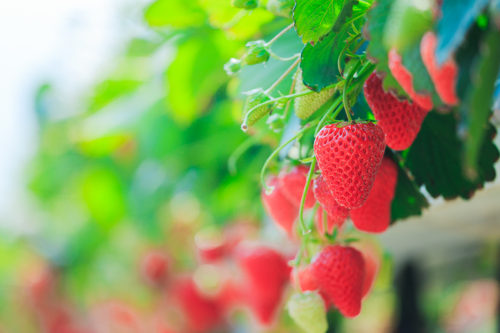strawberries hanging on bushes