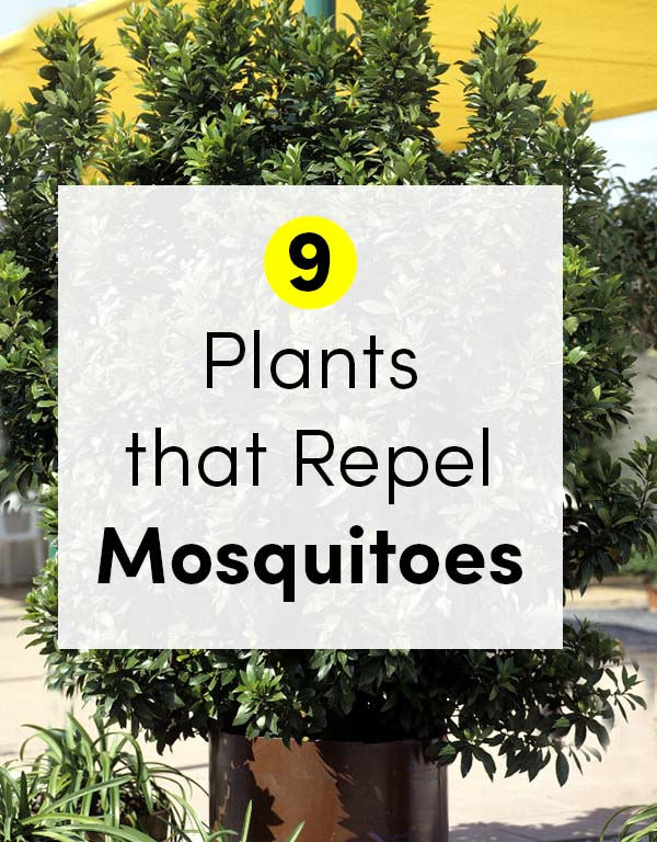 Photo of Bay Laurel Plant with a Text Overlay that Reads: 9 Plants that Repel Mosquitoes