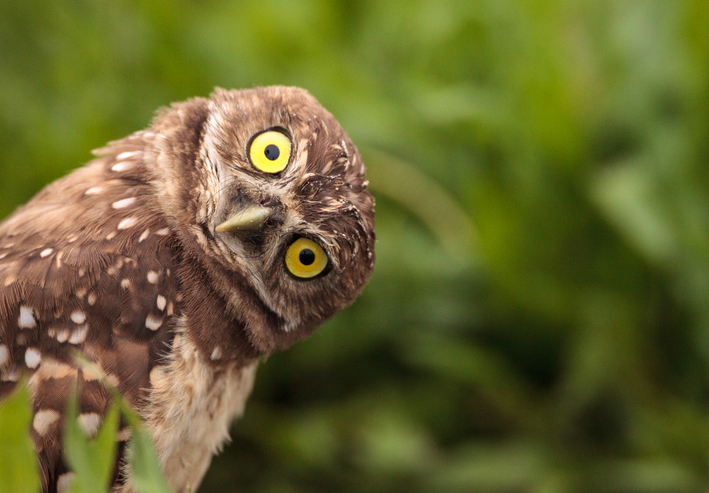 Funny Burrowing owl Athene cunicularia