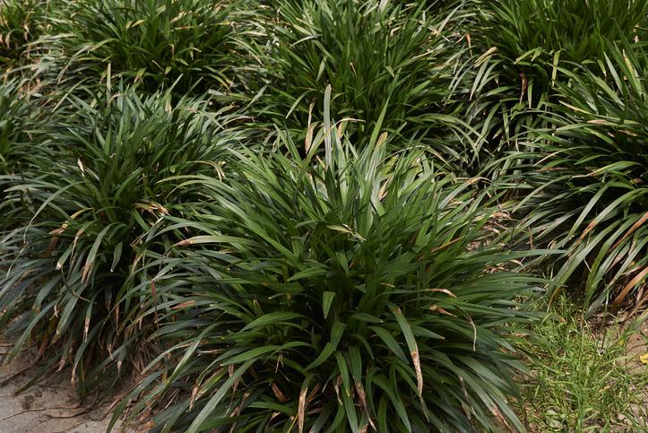 Liriope muscari groundcover