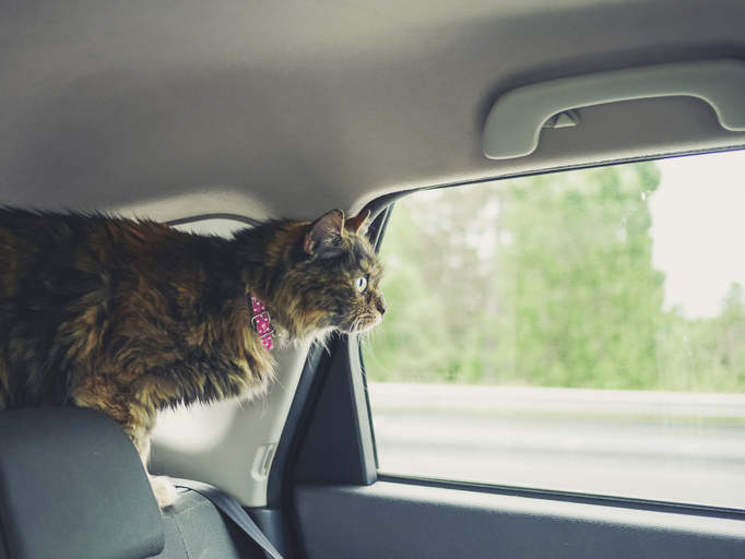 cat loose on top of seat in car