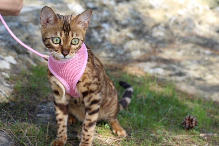 cat wearing a harness and leash outside