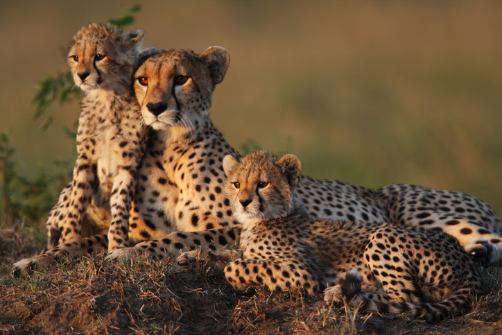 cheetah mom and two cubs