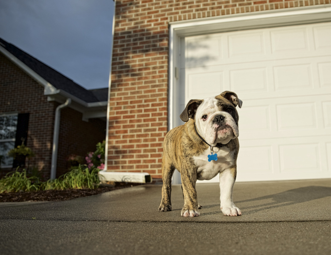 A young bulldog in a driveway in front of a garage