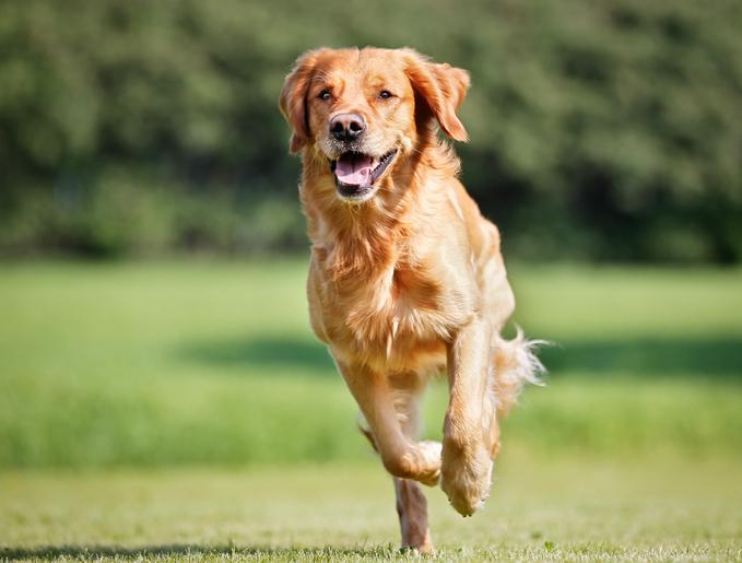 Golden retriever running outside in grass