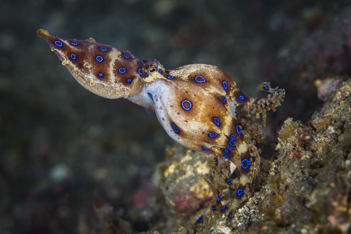 blue ring octopus carrying eggs