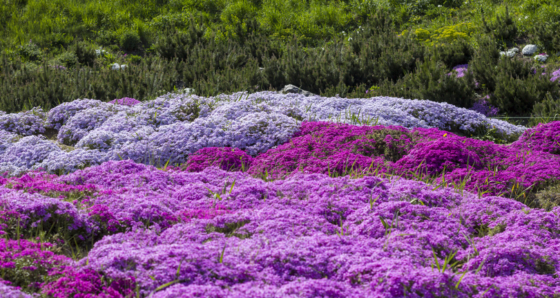 Purple creeping phlox groundcover