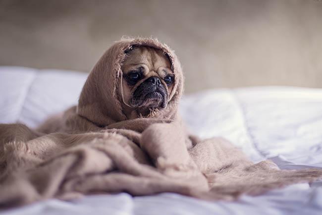 sad pug under a blanket