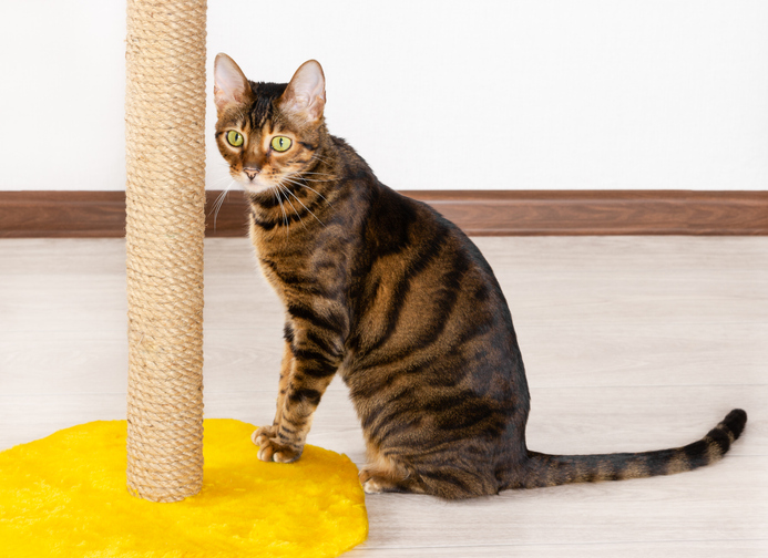 toyger cat breed next to a scratching post