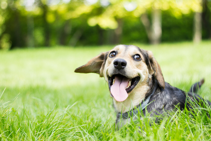 dog lying in grass smiling