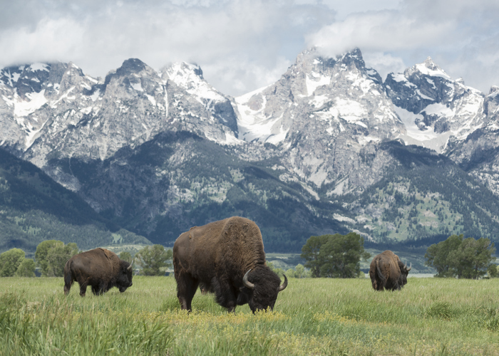 American buffalo grazing in Grand Teton National Park in Wyoming